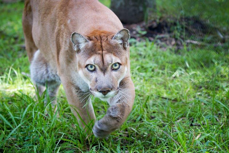 A pantera de Florida anda através da grama alta com olhos verdes imagens de stock