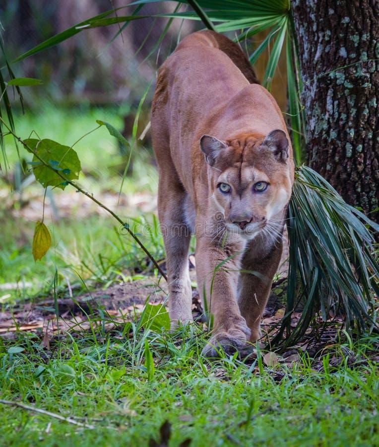 Pantera de passeio de Florida que olha a câmera deixada imagem de stock royalty free