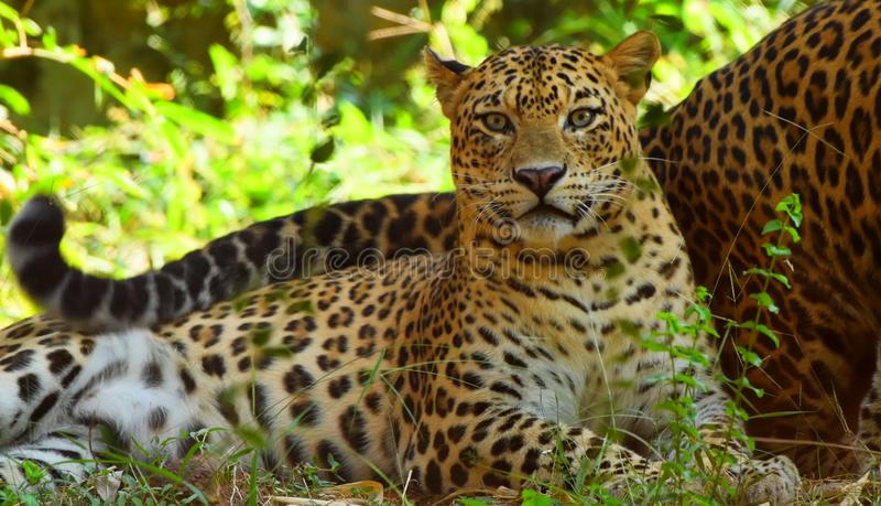pantera do leopardo que descansa para relaxar na árvore - Snmek fotografia de stock