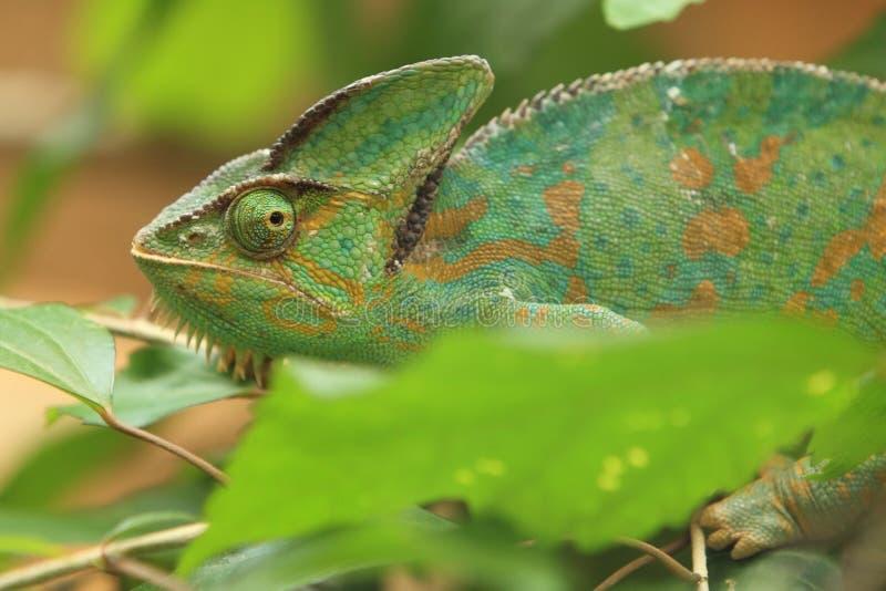 Pantera kameleon zdjęcia stock