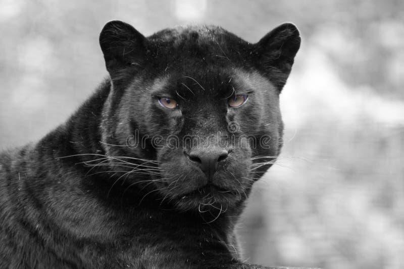 Pantera negra imágenes de archivo libres de regalías