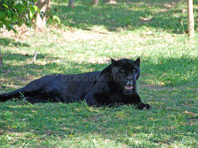 Pantera negra imagen de archivo