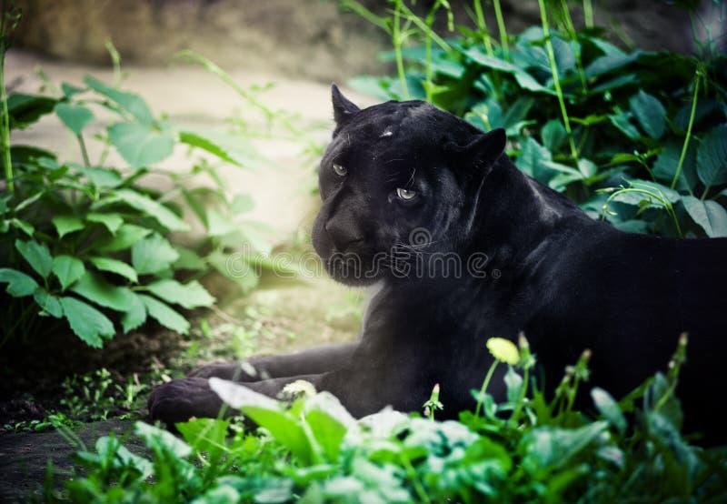 Pantera nera fotografie stock libere da diritti