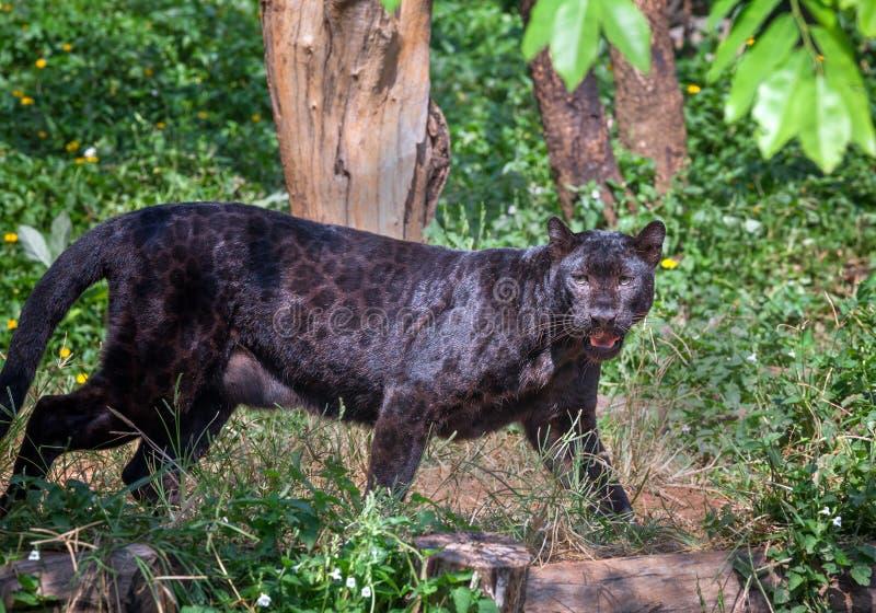 Pantera nera in natura fotografia stock