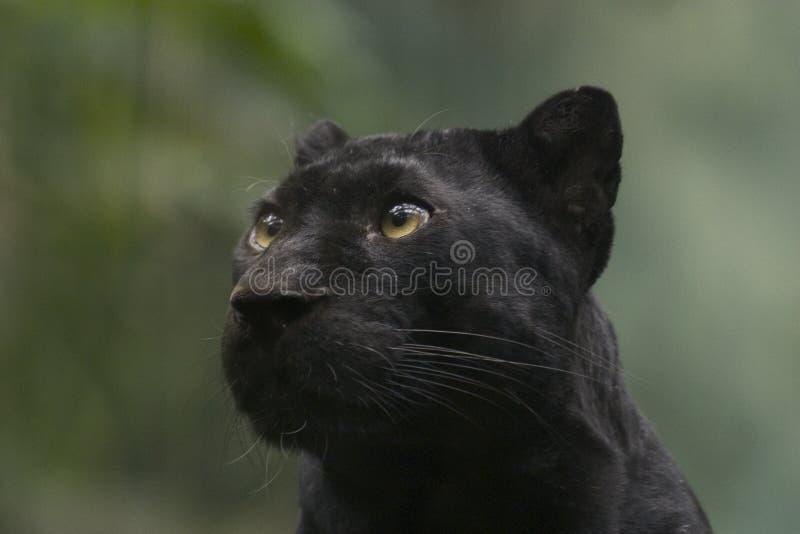 Download Pantera preta imagem de stock. Imagem de forte, mamíferos - 68801