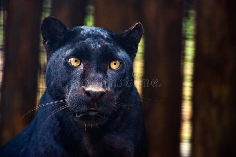 Pantera preta bonita imagens de stock