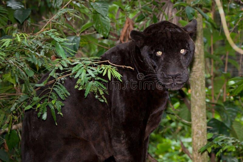 Pantera preta com olhos de incandescência fotografia de stock royalty free
