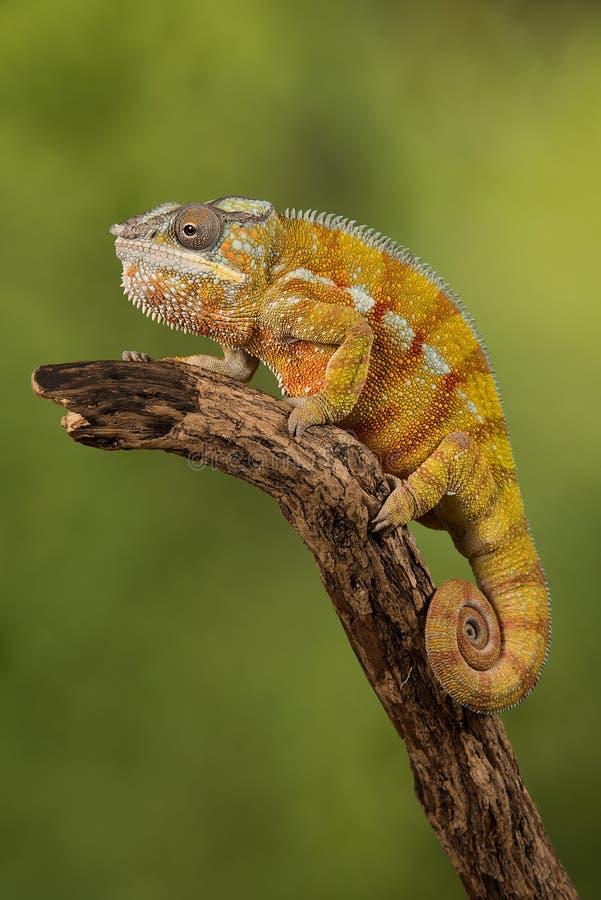 Panterkameleon stock afbeelding