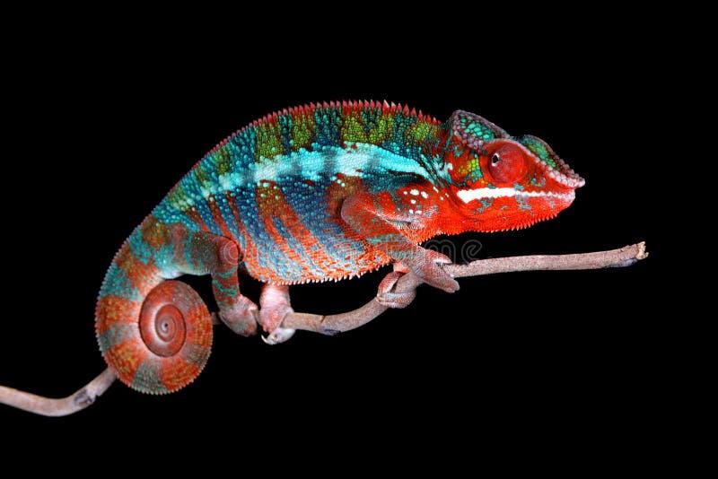 Panterkameleon op stok met Zwarte Achtergrond stock afbeelding