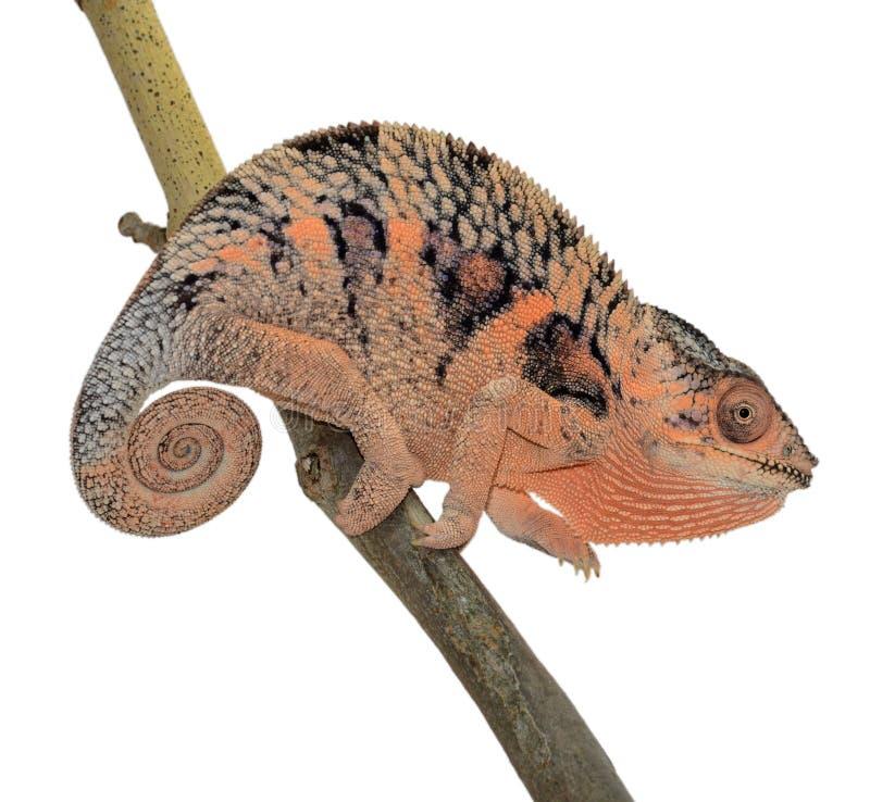 Panterkameleont royaltyfri fotografi