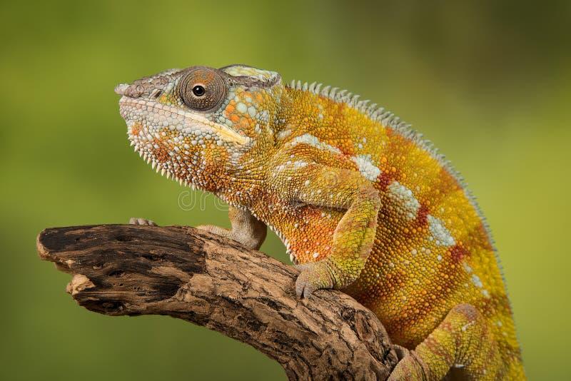 Panterkameleont royaltyfria foton