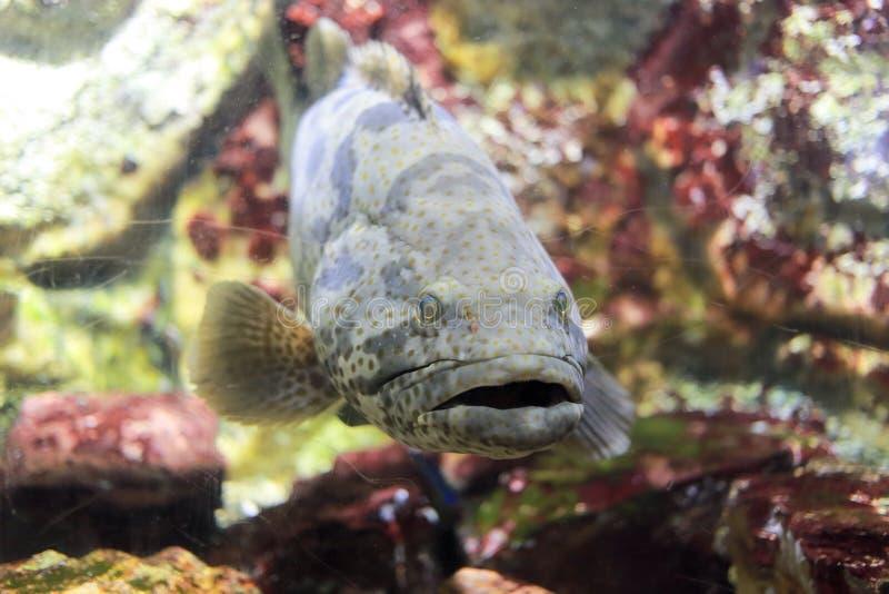 Pantery grouper zdjęcie stock