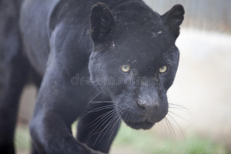Download Panther stock image. Image of strong, panther, strength - 15887057