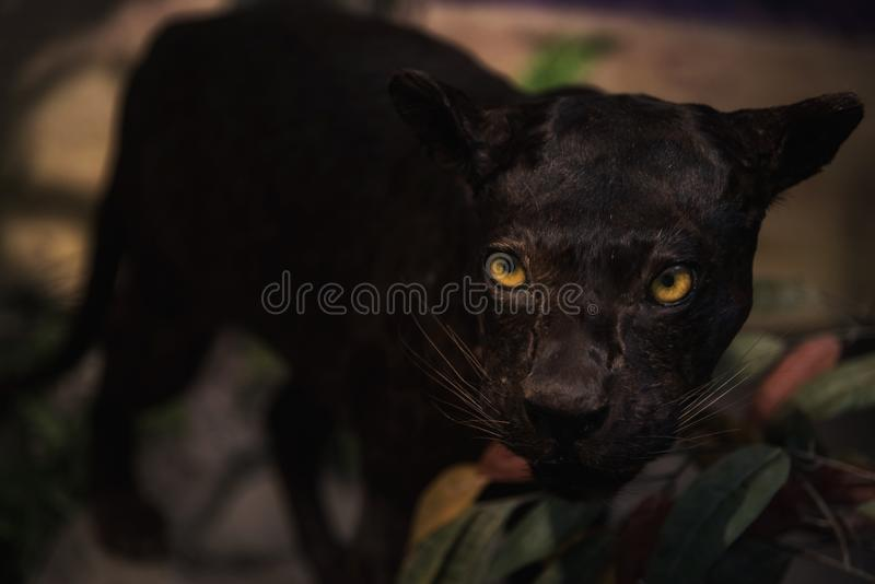 Panther or black tiger in forest. Panther or black tiger in wood or forest at night. Closeup face of wildlife royalty free illustration