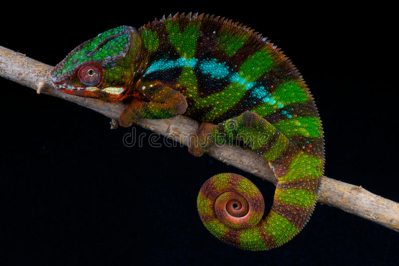 Download Panther chameleon stock image. Image of endemic, rainbow - 22078629