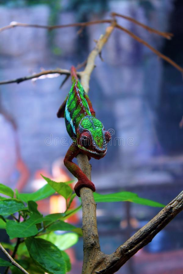 Free Panther Chameleon Royalty Free Stock Photo - 61077245