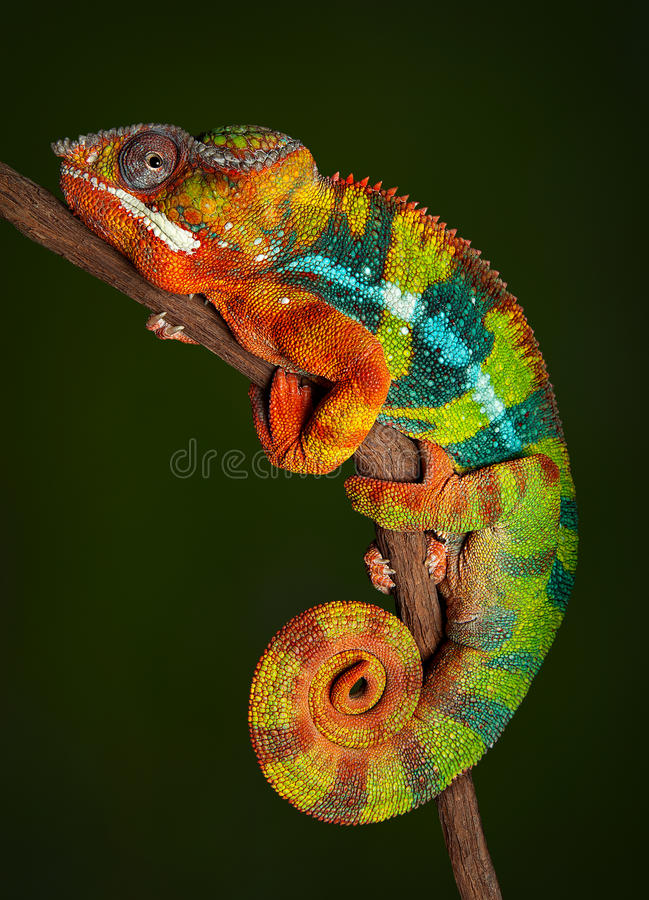 Free Panther Chameleon At Rest Royalty Free Stock Image - 58080746