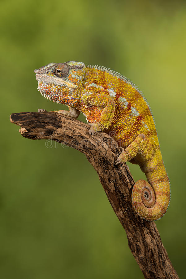 Panther chameleon stock image