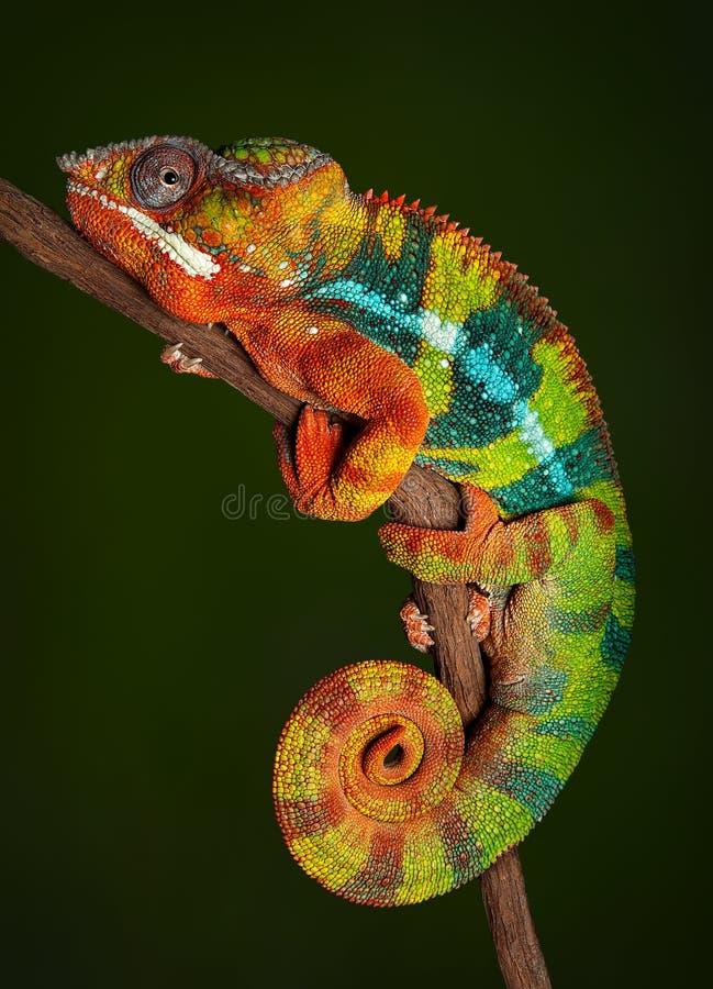Download Panther Chameleon at rest stock photo. Image of vertebrate - 58080746