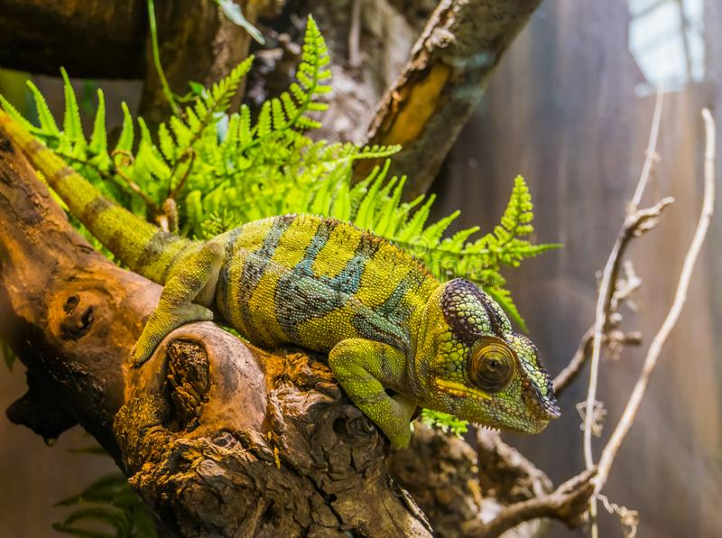 Panther chameleon sitting on a branch, popular tropical reptile pet from Madagascar. A Panther chameleon sitting on a branch, popular tropical reptile pet from royalty free stock images