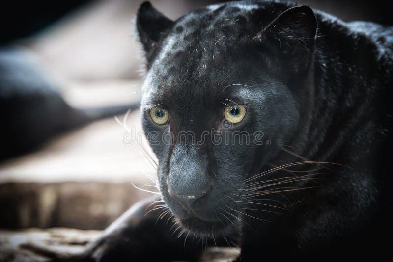 Panther on dark bacground. Black panther on dark background stock photos