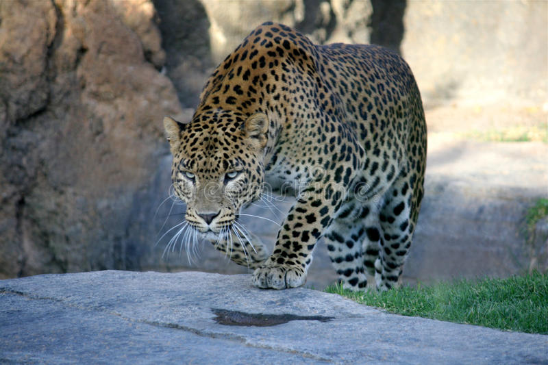 Panther hunting in safari stock photography