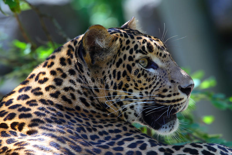 Download Panther Resting In The Shade Royalty Free Stock Image - Image: 20611916