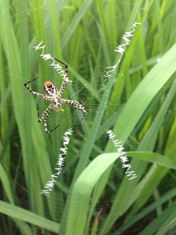Panther spider royalty free stock images