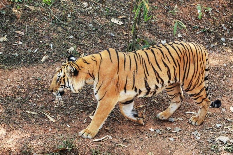 Panthera Τίγρης που περπατά σε ένα ύφος στοκ φωτογραφία