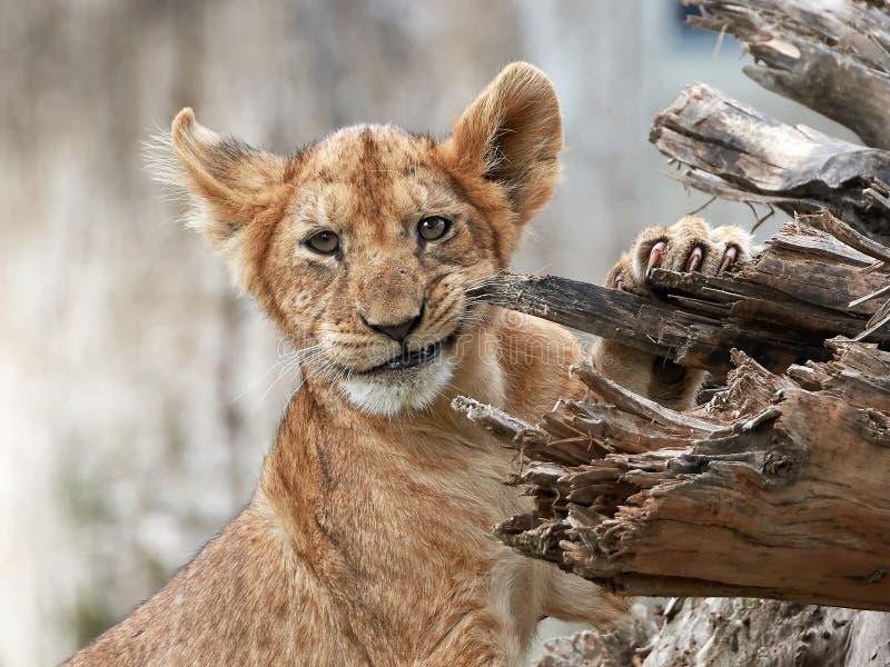panthera λιονταριών leo στοκ φωτογραφία με δικαίωμα ελεύθερης χρήσης