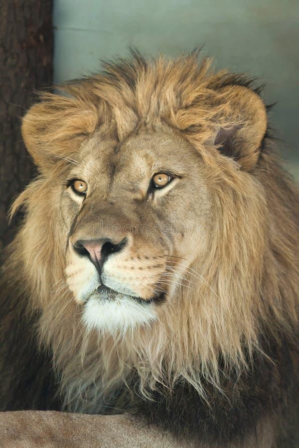 panthera льва leo стоковое изображение