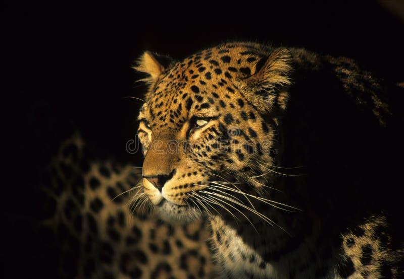 panthera obraz royalty free