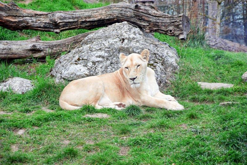 Panthera bianca Leo Krugeri Resting della leonessa su erba fotografia stock libera da diritti