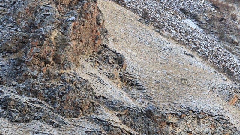 Panthera camouflé SAUVAGE Uncia de léopard de neige au Thibet se reposant d'un côté de montagne photo stock