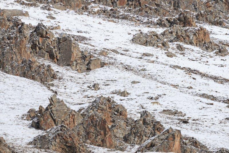 Panthera camuflado SELVAGEM Uncia do leopardo de neve em Tibet que anda em um lado da montanha fotografia de stock