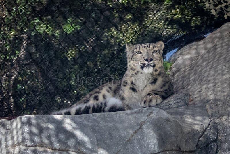 Panthera de léopard de neige oncial dans le zoo image libre de droits