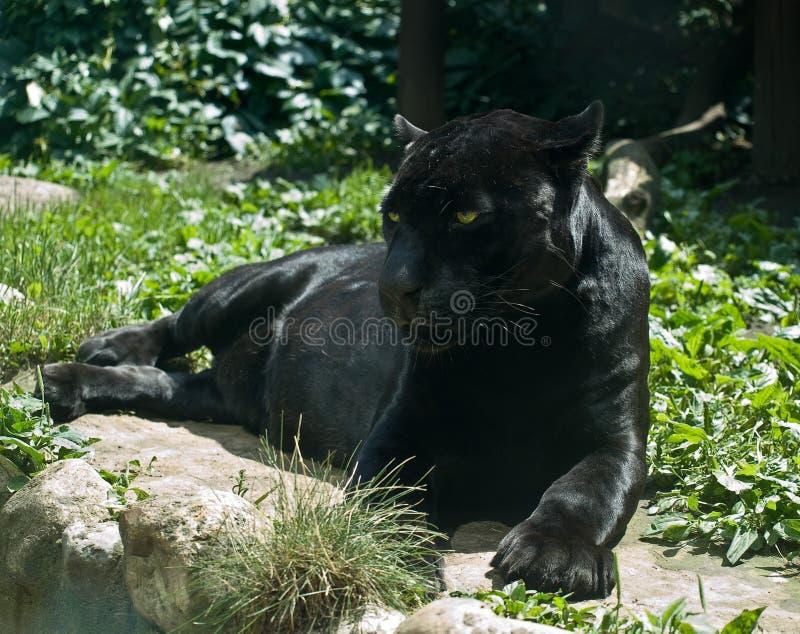 panthera di onca del giaguaro fotografia stock libera da diritti