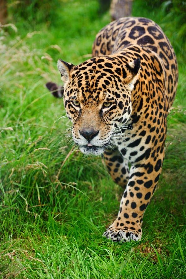 Panthera impressionante Onca do jaguar que prowling fotografia de stock