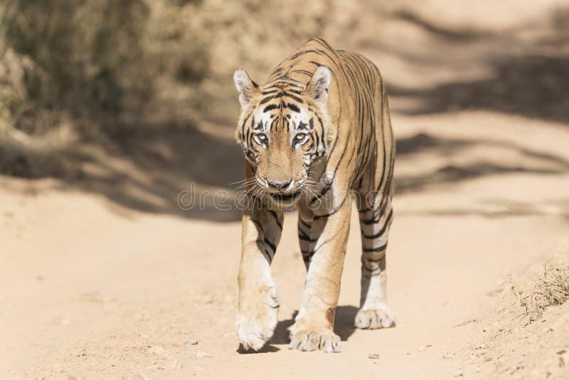 Panthera le Tigre le Tigre de tigre de Bengale marchant sur le chemin forestier photographie stock