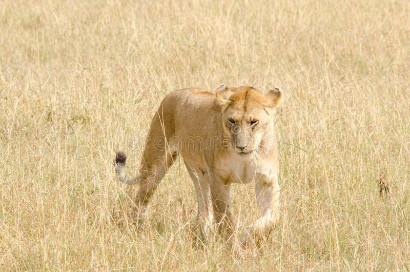 Panthera leo de la leona fotos de archivo