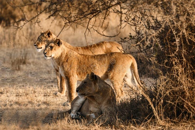 Panthera leo de tres leonas en el arbusto imágenes de archivo libres de regalías