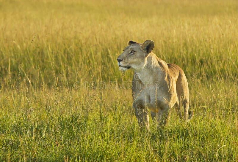 Panthera Lion de lionne images stock