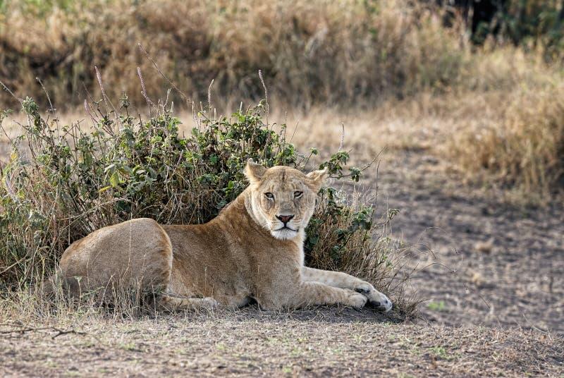 Panthera Lion de lionne se situant dans l'herbe photo stock
