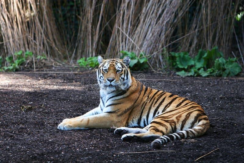 panthera Tigris fotografia stock