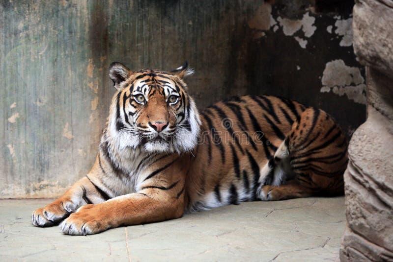 Panthera tigris foto de archivo libre de regalías
