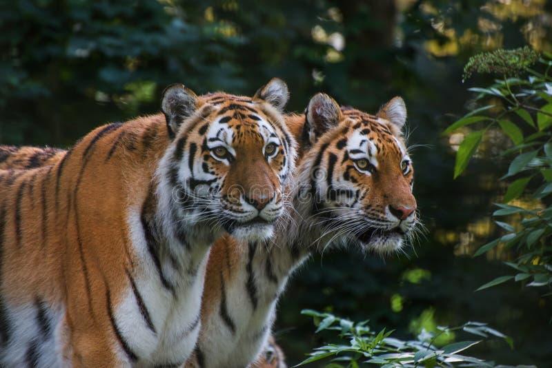 Panthera tigris tigris för Bengal tiger i fångenskap fotografering för bildbyråer