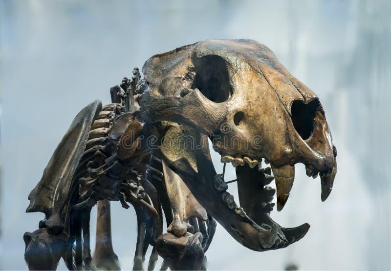 PantheraAtrox jätte Jaguar royaltyfri foto