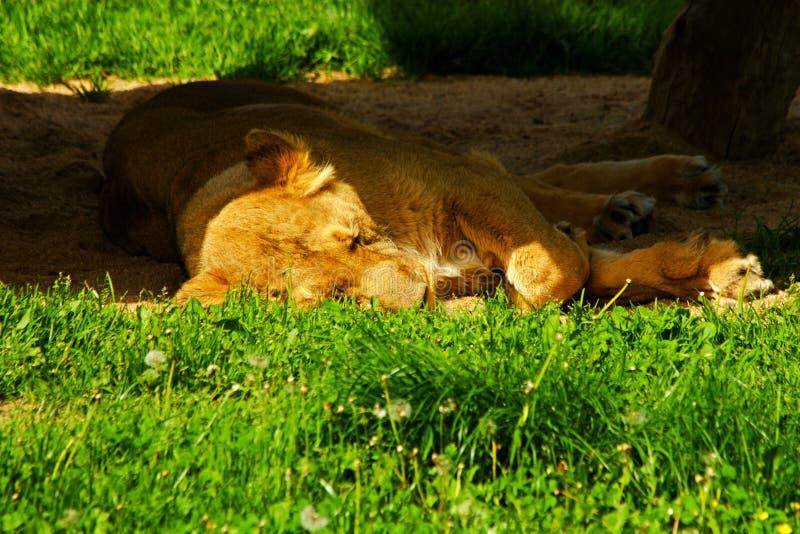Pantheralöwe-persica stockbilder
