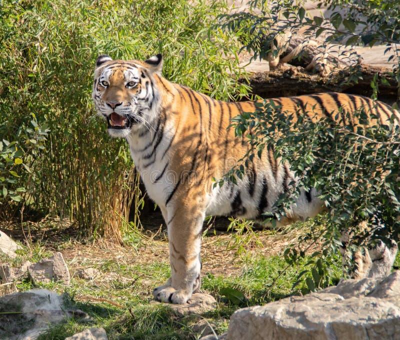 Pantheratigris altaica, ussurian tiger, siberian tiger arkivfoton