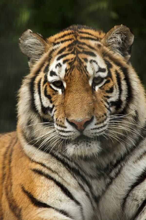 Pantheratigris för Siberian tiger altaica royaltyfria bilder